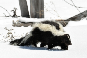 Striped_Skunk_(Mephitis_mephitis)_DSC_0030