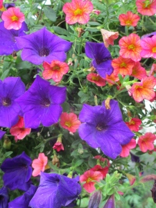 Purple petunias, in need of deadheading.