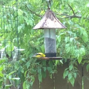 Goldfinch!